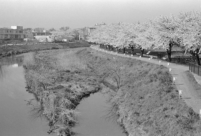 黒目川の桜