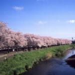 早朝桜散歩