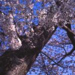 エルマーで桜を撮る
