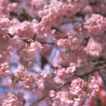 リバーサルフィルムで河津桜を撮る