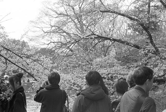 桜の季節の井の頭公園