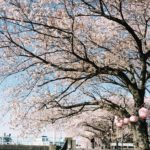 春の写真が帰ってきた | PORTRA160NC
