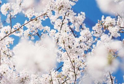 桜 de 朝活 2020